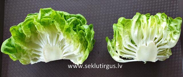 """Salāti Salanova tipa sviesta galviņsalāti  DESCARTES RZ 15 gab """"Rijk Zwaan"""""""