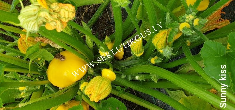 Patisoni Sunny Kiss F1 5 gab American Seeds