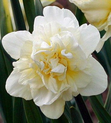 Narcises pildītas OBDAM 5 gab