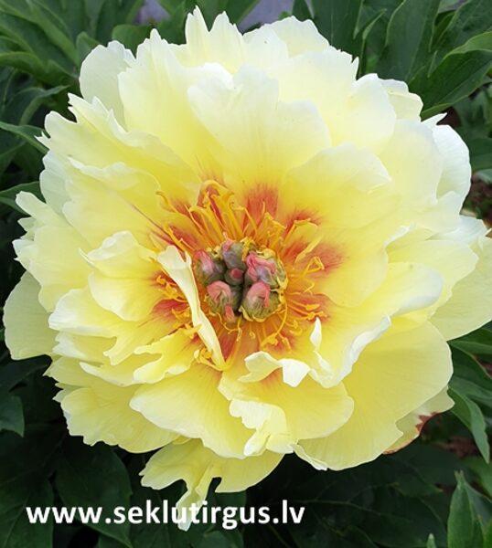 Dzelteno ziedu peonija ITO hibrīds Itoh Garden Treasure 1 gab
