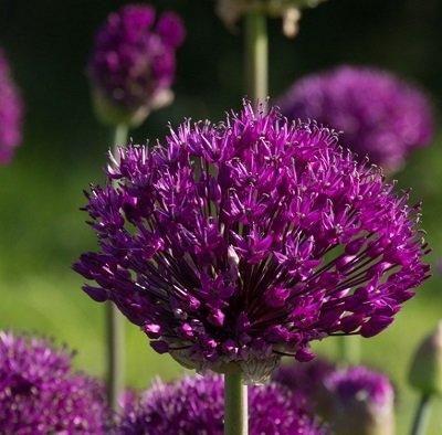 Aflatūnas sīpols Purple Sensation 3 gab