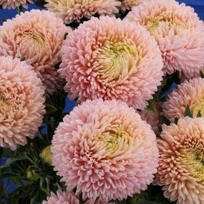 Asteres ķīnas Lady Coral Chamois 50 gab Graines Voltz