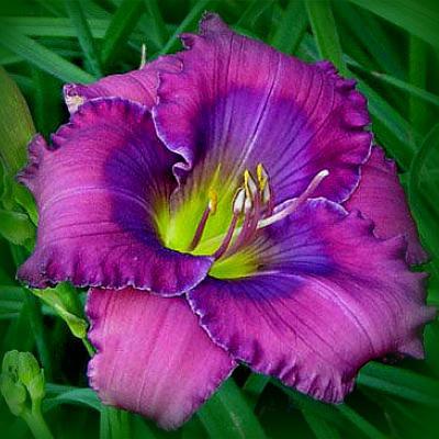 Dienziedes Lavender Blue BaBy Pieejamas tikai tirgū!