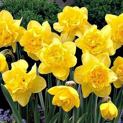 Narcises pildītas DICK WILDEN 5 gab