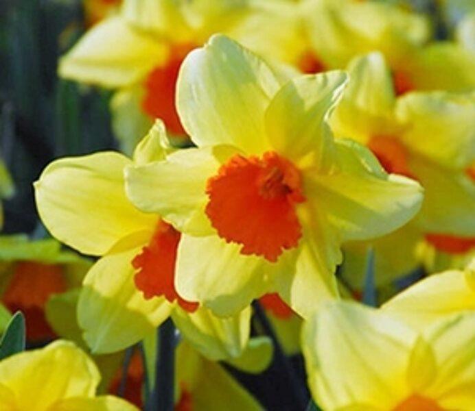 Narcises lielvainadziņa PIPE MAJOR 5 gab