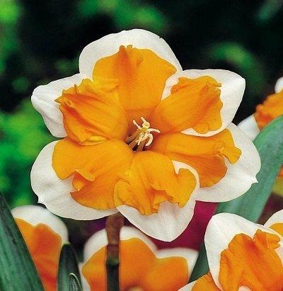 Narcises šķeltvainadziņa Orangery 3 gab iepak