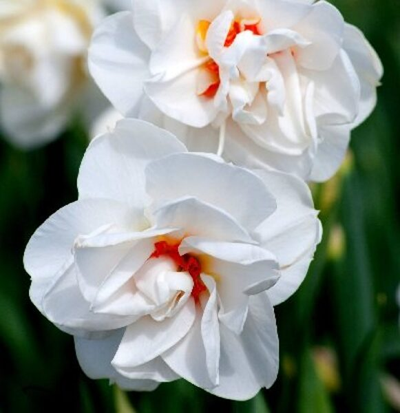 Narcises pildītas  ACROPOLIS 5 gab