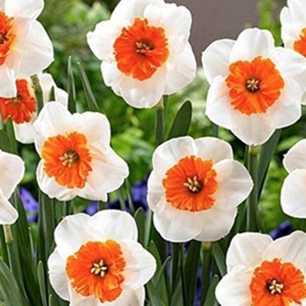 Narcises lielvainadziņa Bella Vista 5 gab