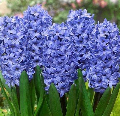 Hiacintes DELFT BLUE 3 gab iepak