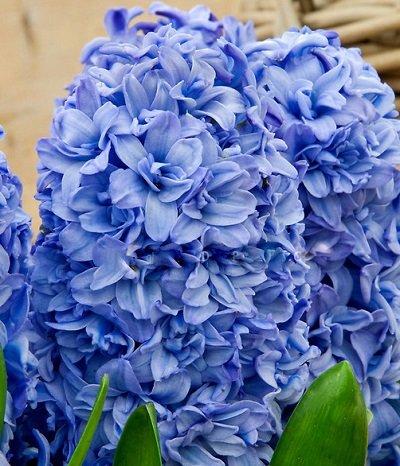 Hiacintes BLUE TANGO 1 gab