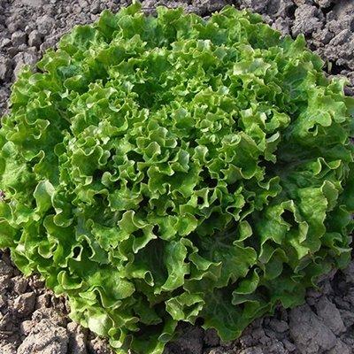 Salāti lapu Caipira 20 gran Enza Zaden