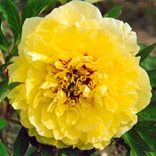 Dzelteno ziedu peonija ITO hibrīds Itoh Yellow Crown 1 gab