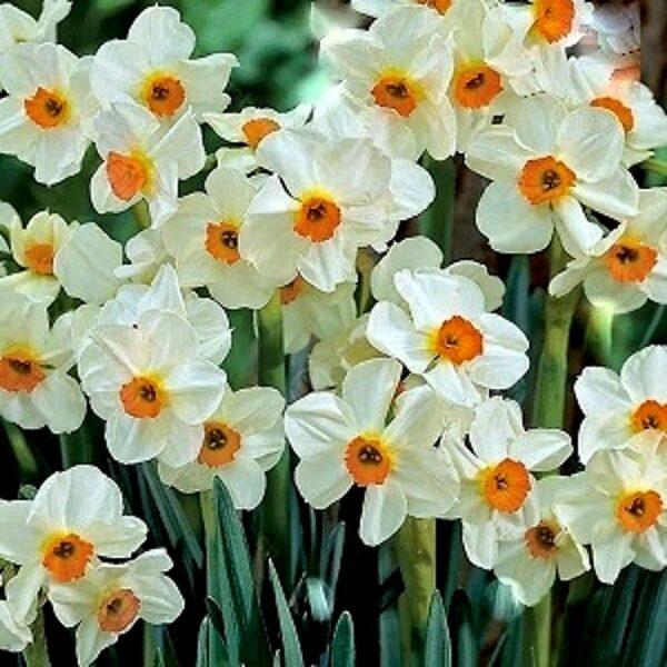 Narcises daudzziedu Geranium 5 gab
