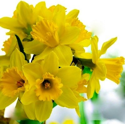 Narcises lielvainadziņa GIGANTIC STAR  5 gab