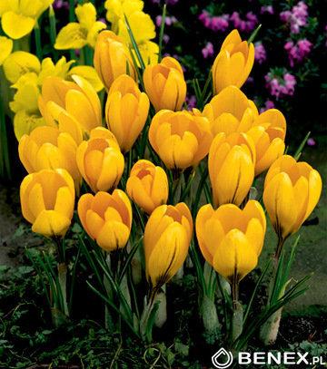 Krokusi lielziedu Golden Yellow 10 gab