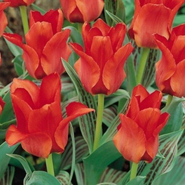 Greiga  Tulpe  Red Riding Hood 5 gab Viena no top desmit Anglijas Karaliskās floristu biedrības labākajām šķirnēm!