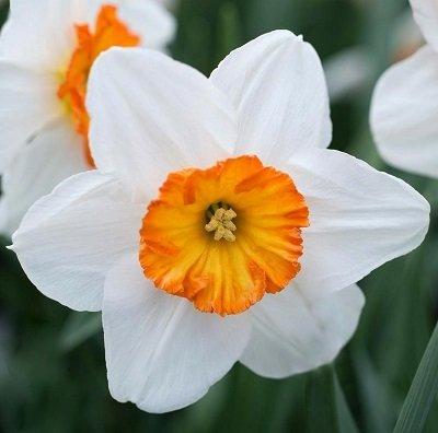 Narcises lielvainadziņu FLOWER RECORD 3 gab iepak