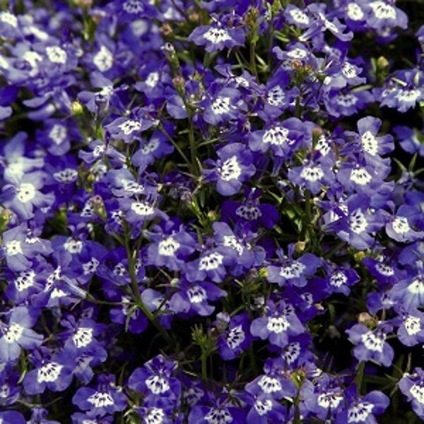 Lobēlija PALACE BLUE WITH EYE 20 gab Benary