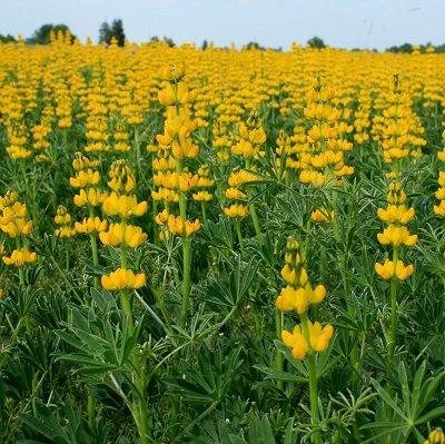 Lupīnas dzeltenās 1 kg  Granum