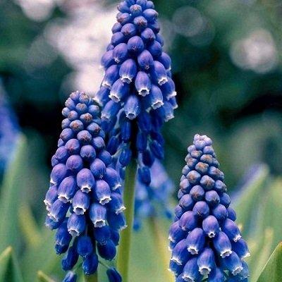 Armēnijas muskare Blue Pearl 1 gab