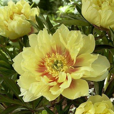 Dzelteno ziedu peonija ITO hibrīds Itoh Bartzella 1 gab  Pieejami tikai tirgū!!!