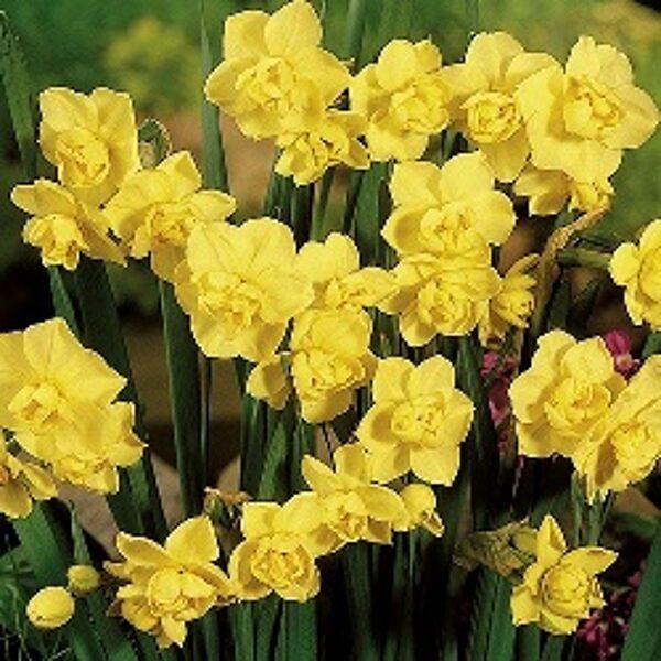 Narcises  daudzziedu YELLOW CHEERFULNESS 5 gab
