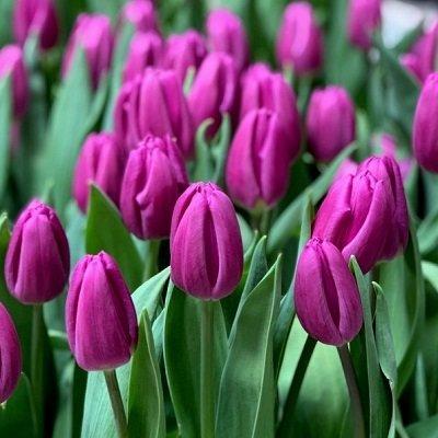 Tulpe triumfa Purple Prince  5 gab