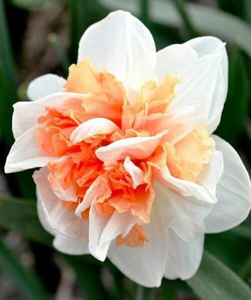 Narcises pildītas REPLETE 5 gab