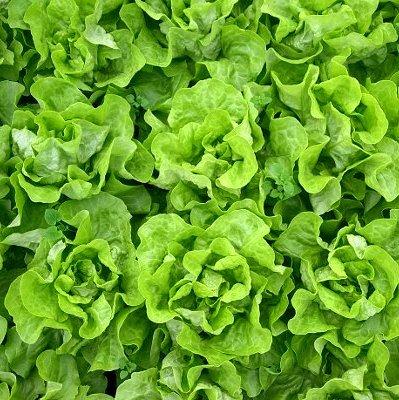 Salāti sviesta STRECHA 20 gran Enza Zaden