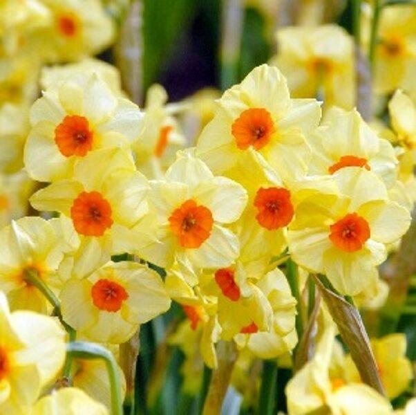 Narcises daudzziedu Scarlet Gem 5 gab