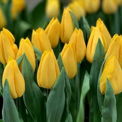 Tulpe triumfa Strong Gold 1 gab
