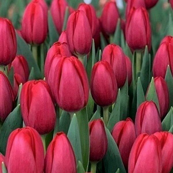 Tulpe triumfa SURRENDER 5 gab