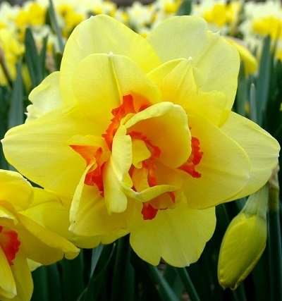 Narcises pildītas TAHITI 5 gab