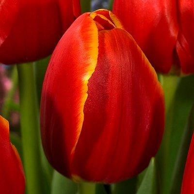 Tulpe triumfa Verandi  1 gab